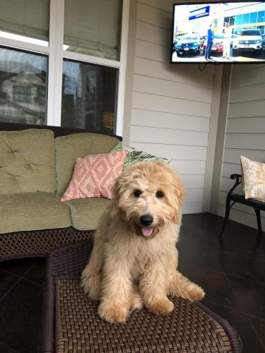 "Mini F1 ""teddybear"" goldendoodle"