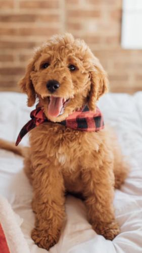"Mini F1B English ""teddybear"" Goldendoodle"