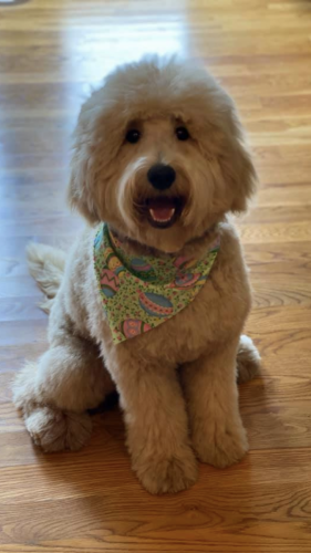 "Mini F1b ""Teddybear"" Goldendoodle"